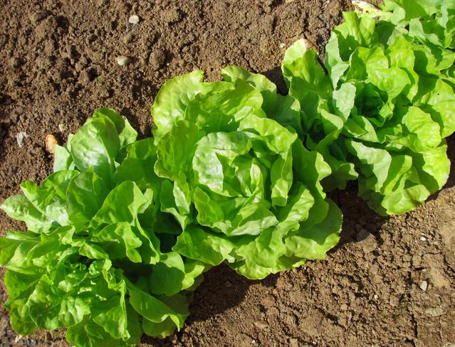 GLOBALGAP en cultivos de hoja verde